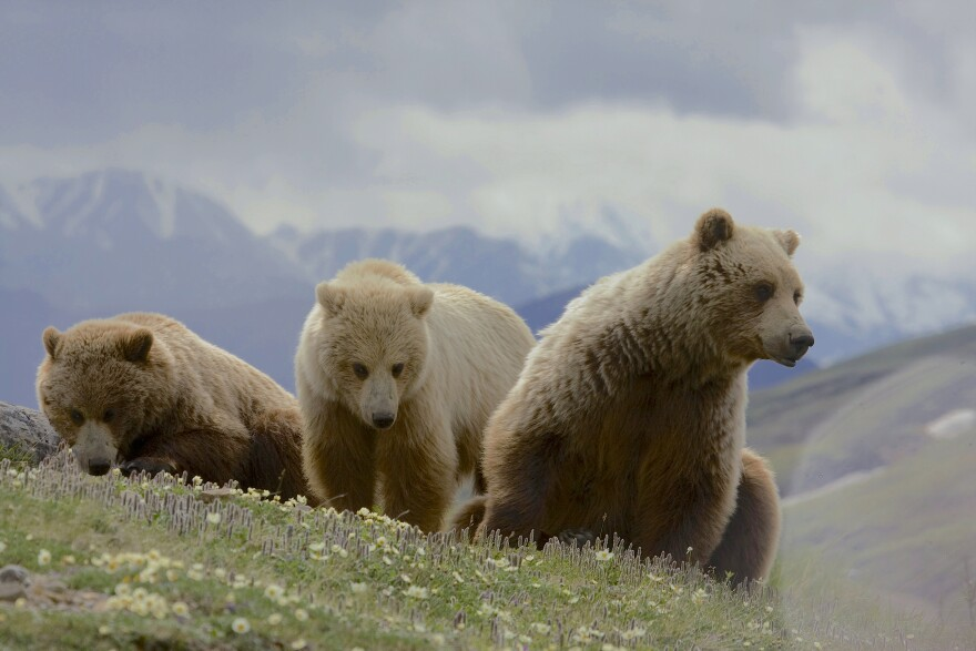 Three grizzly bears on a mountain.