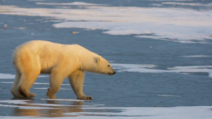 A wildlife biologist was flying over the Arctic on a routine whale survey when his team spotted dead polar bears in the water. The researcher's report on the observations raised public alarm about the threat of climate change, he's now under an official investigation. Above, a polar bear walks on the frozen tundra on the edge of Hudson Bay on Nov. 14, 2007.