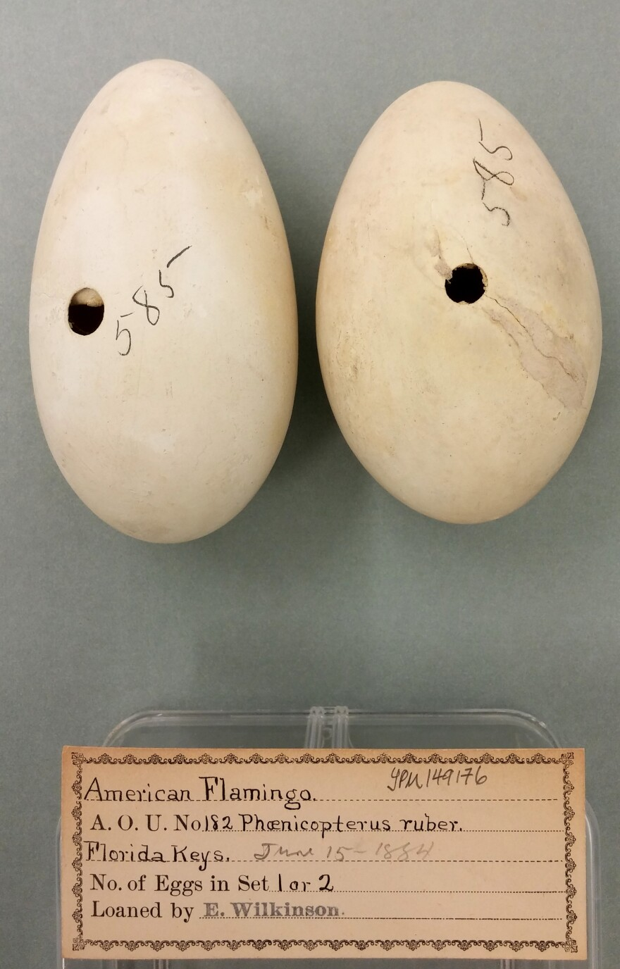 flamingo_eggs_yale_peabody_museum.jpg