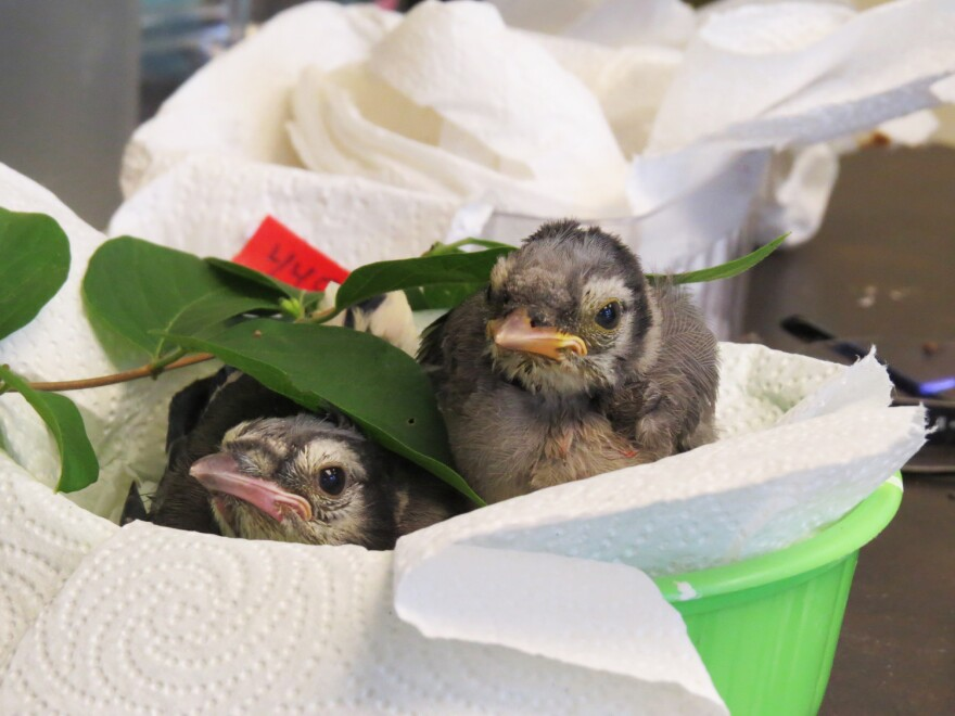 Orphaned baby birds need to be fed constantly, sometimes every 10 minutes, to mimic how their parents would have cared for them in the wild.