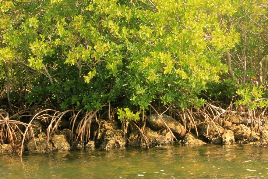 An overflowing percolation pond has been intermittently leaking into mangroves in Everglades City since April 7.