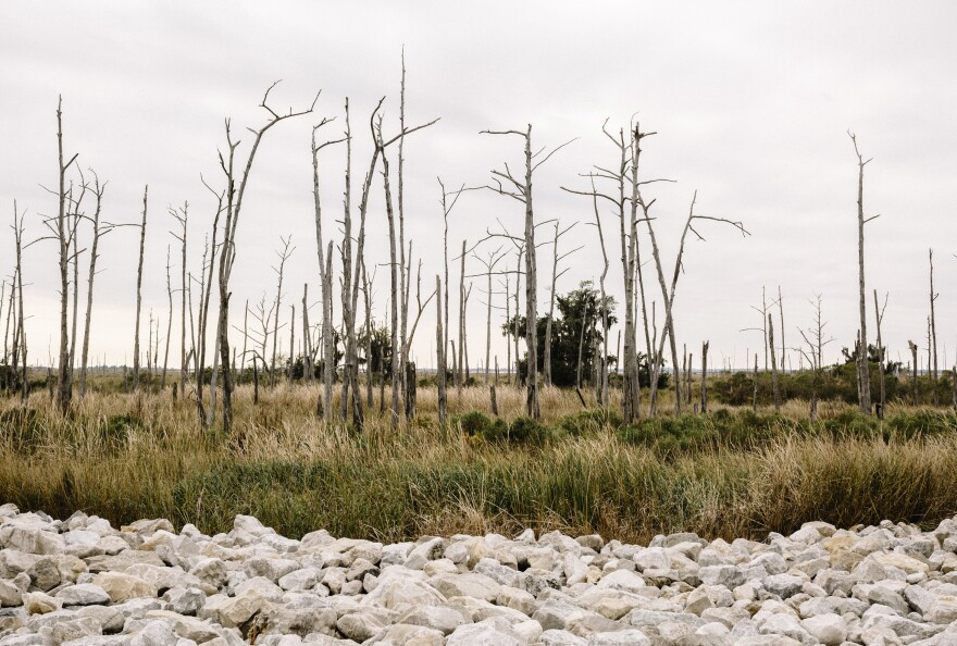 Dead trees in marshland in Lower Terrebonne Parish. As coastal wetlands erode and the salinity of the water surrounding remaining vegetation increases, the plants with the deepest roots — cypress and oak trees — are usually the first to die.