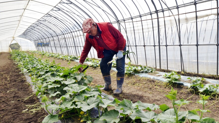 Farmer Magoichi Shigihara checks on his cucumber farm in Nihonmatsu in Fukushima prefecture, about 31 miles west of the Fukushima nuclear power plant, in May 2011. Testing shows radiation in foods grown and raised in Fukushima is back to pre-accident levels.