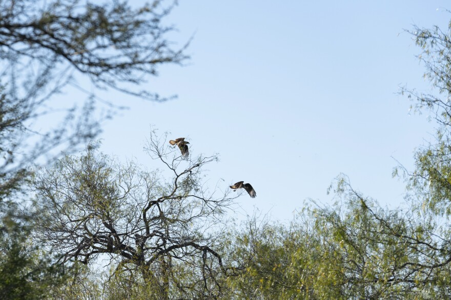 Caracaras--a raptor that often feeds on carrion--take wing near Perez's ranch. CBP says it is working with the U.S. Fish and Wildlife Service to mitigate the wall's impact on critters, but an official concedes it's not easy to protect wildlife while strengthening border security.