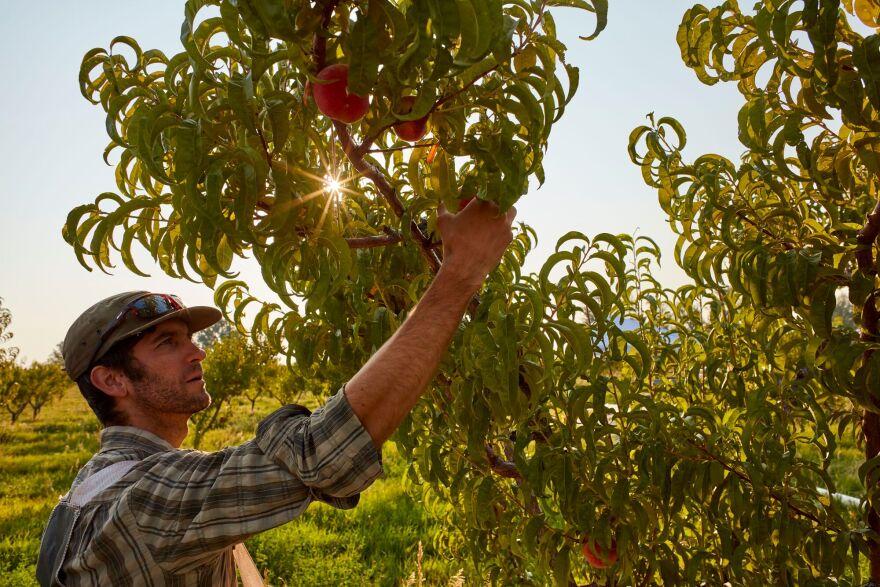 AJ picking peaches - Deer Tree farm.jpg