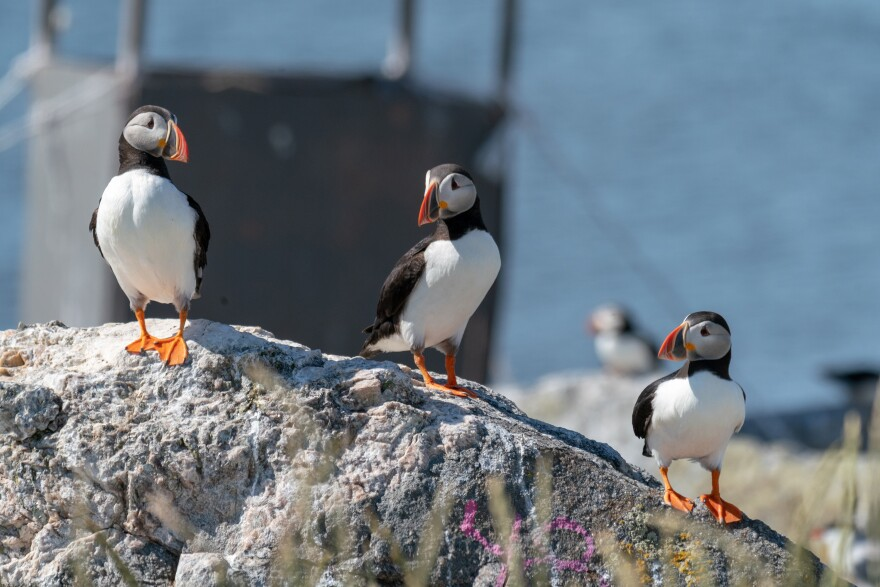 Adult puffins on an island off Maine's coast. By the late 1800s, Atlantic puffins had almost disappeared from their historical nesting grounds in the Gulf of Maine, killed off by hunters for food and feathers, but over a century later, the birds are back.