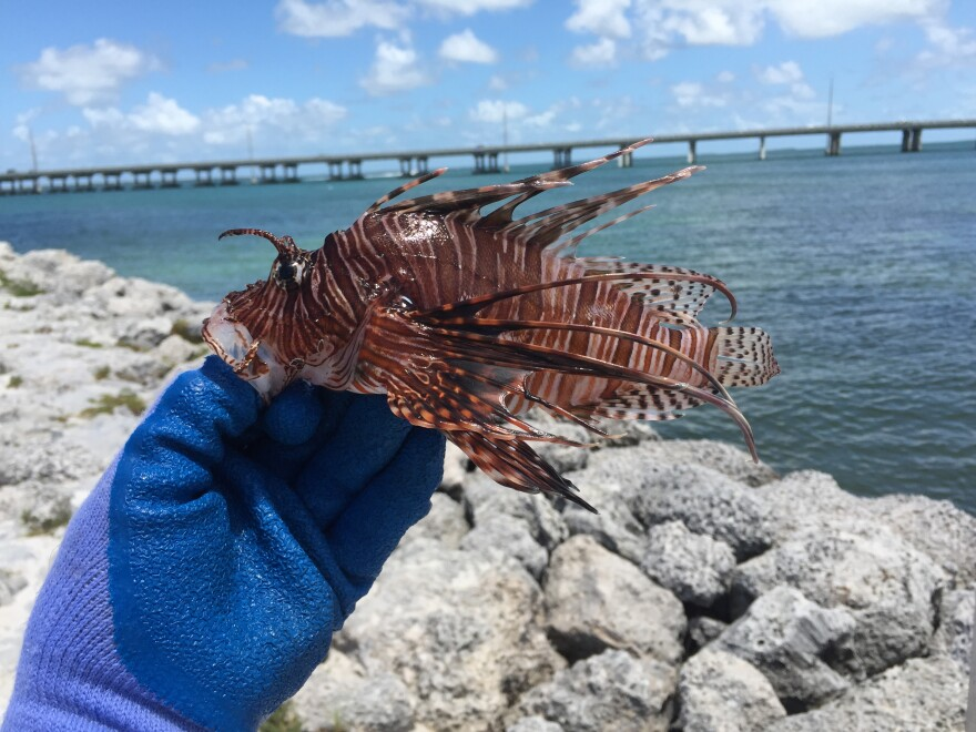 A recently caught lionfish