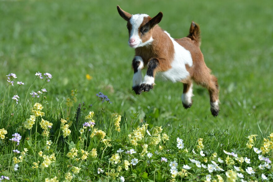 Farmers raise millions of goats, but little has been known about whether their ruminants are happy. Now we know better.