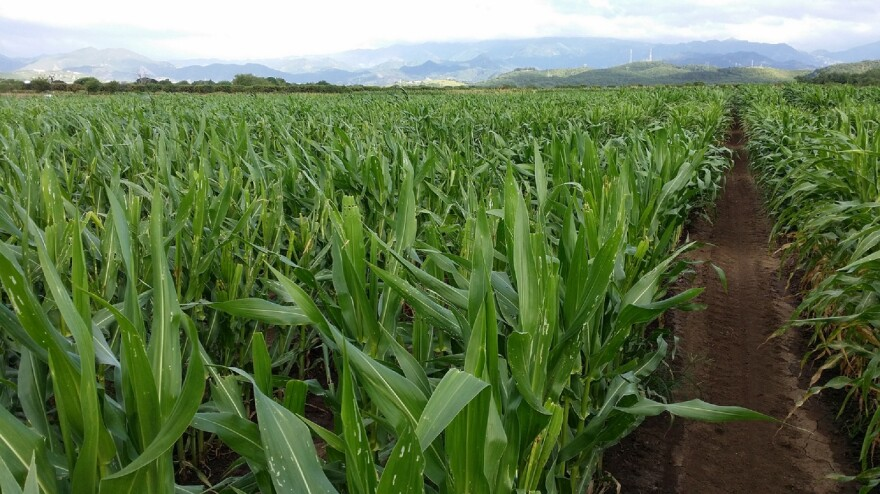 Up to 85 percent of the commercial corn, soybean and other hybrid seeds sold in the U.S. are tested in Puerto Rico.
