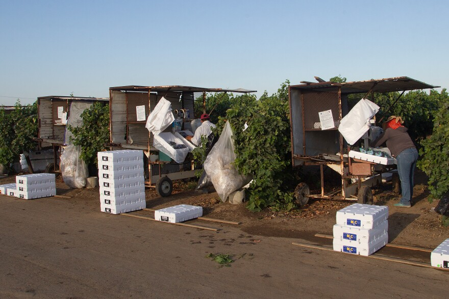 Grapes are harvested and field packed near Delano in late August.