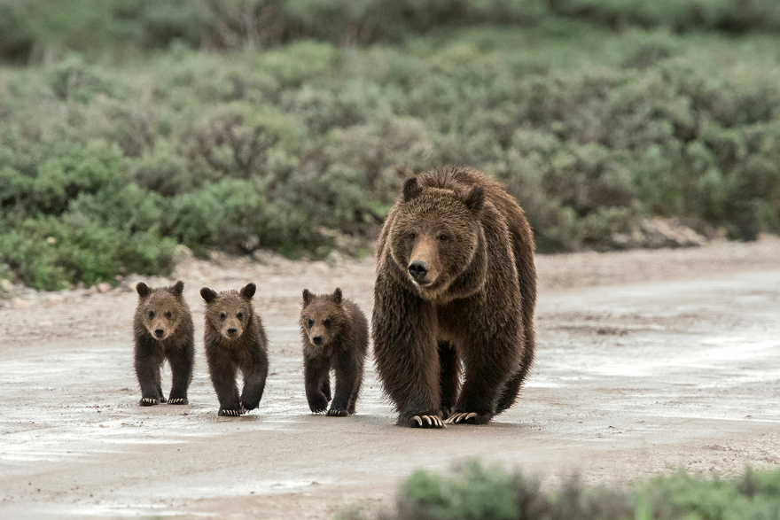 Grizzly 399 photographed with an earlier trio of cubs.