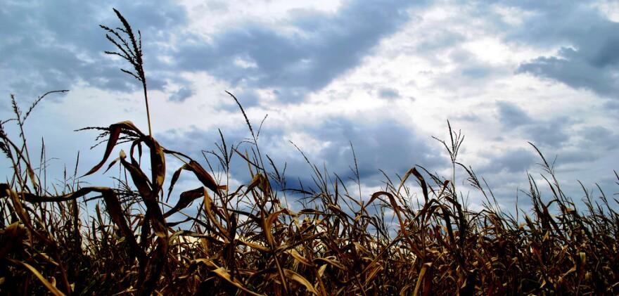 fall corn field against a cloudy sky