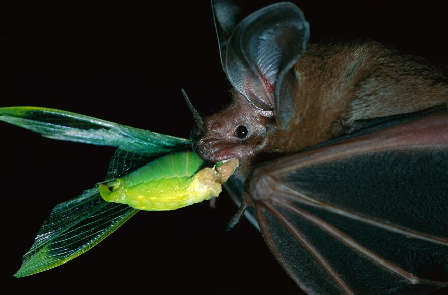 """A white-throated round-eared bat (<em>Tonatia silvicola</em>) catches — and munches — a katydid on Barro Colorado Island in Panama. Katydids are """"the potato chips of the rain forest,"""" scientists say."""