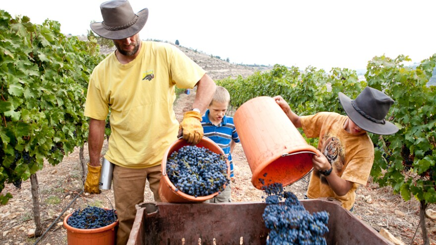 Evangelical Christians from the U.S. are living and working at Jewish settlements in the West Bank for weeks at a time. The Christians see Jewish expansion in the area as fulfilling biblical prophecy, though the settlements are a contentious issue between Israelis and Palestinians. Here volunteers harvest grapes.