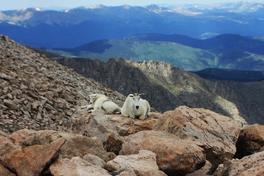 mountain_goat_and_kid_mt_evans_2010_patrick_shannon_cc-by.jpg