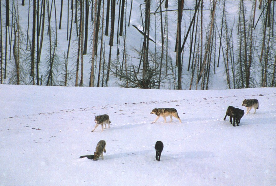 Seven wolves walk across snowy ground, with a stand of bare trees in the background.