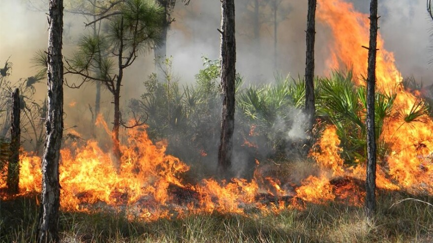 Wildfire burning in Florida forest