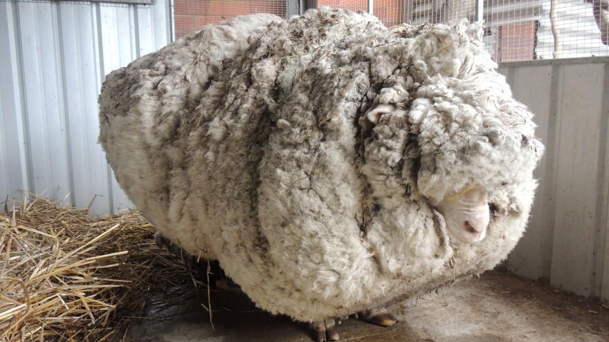 BEFORE: In this photo provided by the RSPCA/Australian Capital Territory, Chris the sheep is prepared to be shorn in Canberra.
