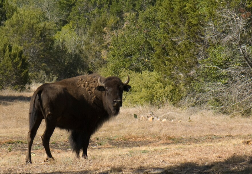 Arboretum_buffalo.jpg