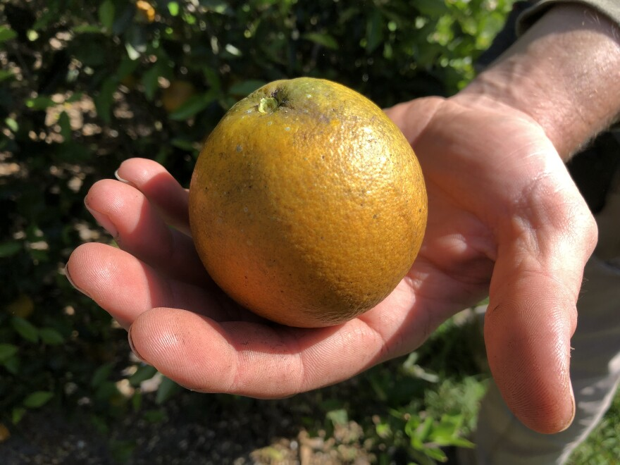 A healthy orange from a grove in Bowling Green, Florida.