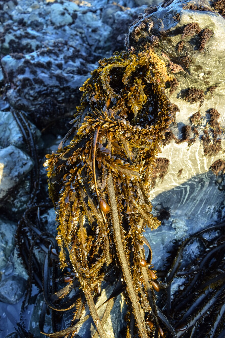 Feather boa kelp has a leathery strap and small blades that give it a corrugated, leafy appearance. Not only are the leaflets edible, so are the hollow oval bladders that keep the plant afloat.