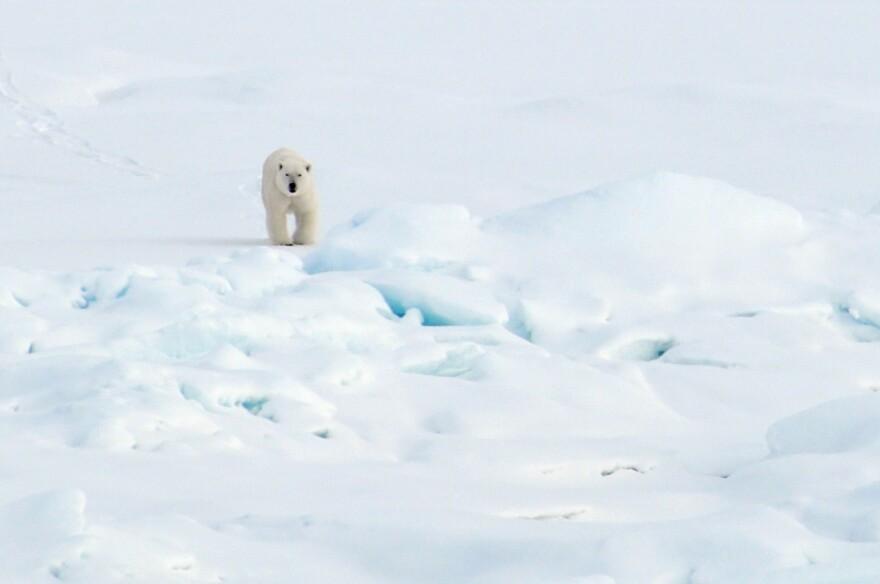 A polar bear walks on the Arctic Ocean ice in 2009. (U.S. Geological Survey via Flickr)