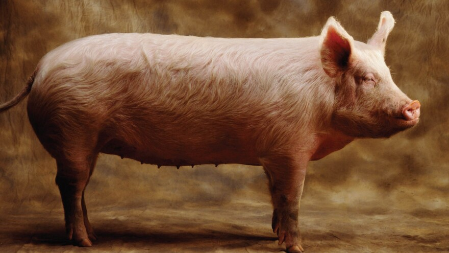 Author Barry Estabrook says pigs can be taught to play computer games and recognize themselves in a mirror.