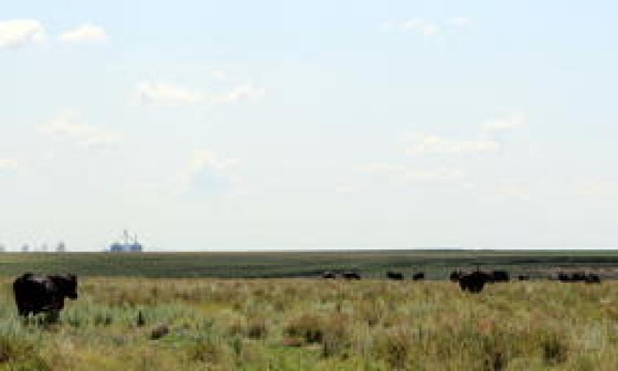 Excessive cattle grazing can damage lesser prairie chicken habitat.