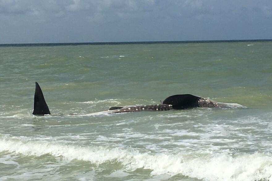 dead_whale_shark_rebecca_mensch_bm_national_shell_museum.jpg