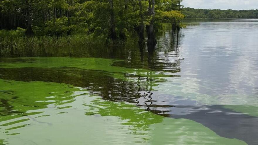 This algal blooms was photographed on July 5 at Blue Cypress Lake.