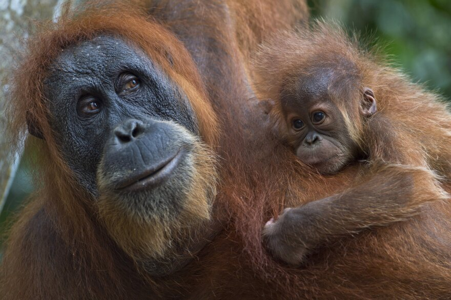 An endangered Sumatran orangutan with a baby clings on tree branches in the forest of Bukit Lawang, part of the vast Leuser National Park, in Indonesia's Sumatra island.