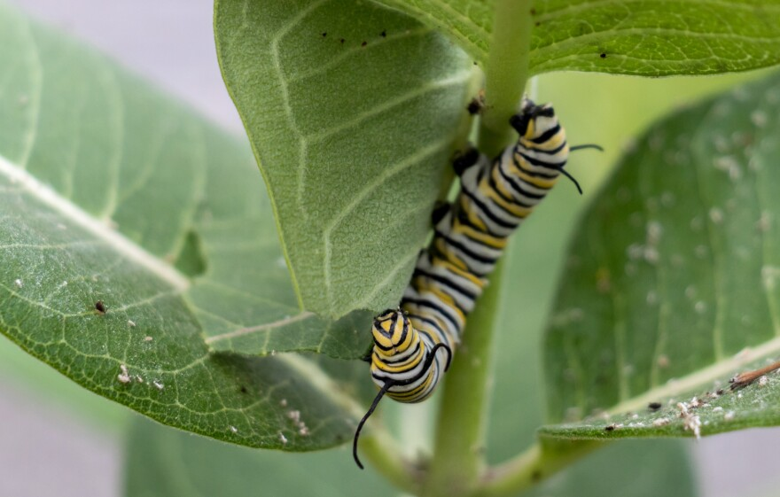 08312020-Caterpillar-Milkweed-3x2-1080.jpg