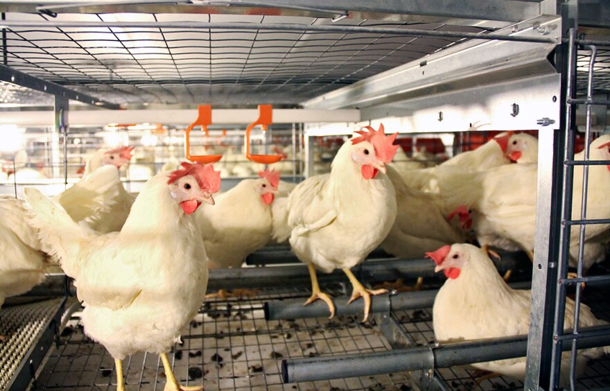"""These """"enriched cages"""" from the JS West farm in Atwater, Calif., in 2011 comply with the state's new law. They are larger and allow chickens to perch and lay eggs in enclosed spaces."""