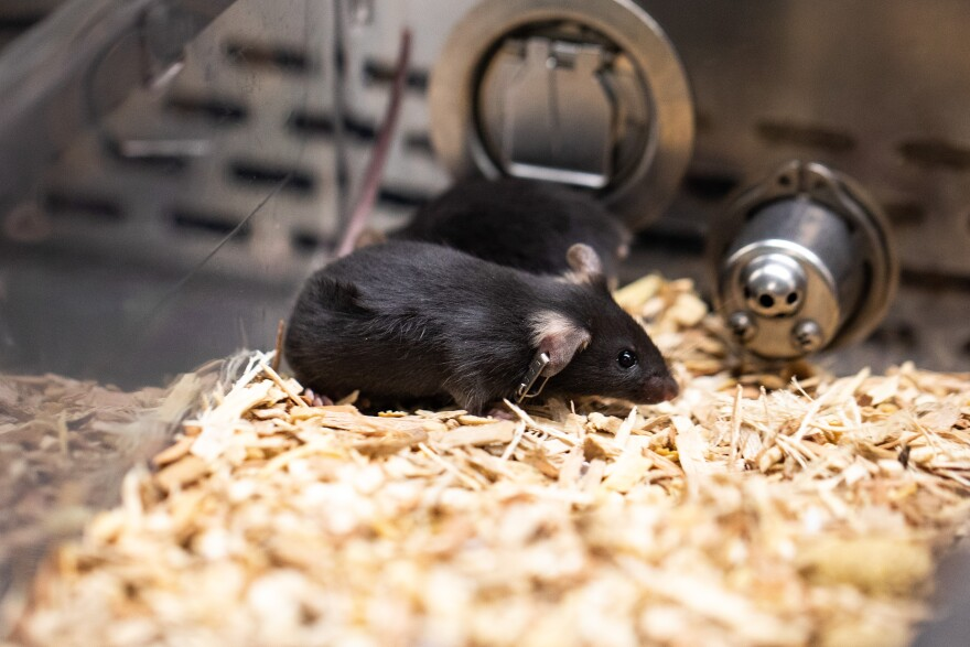 ACE2-model mice are helping researchers at UT's Dell Medical School determine if an experimental vaccine  works on COVID-19.