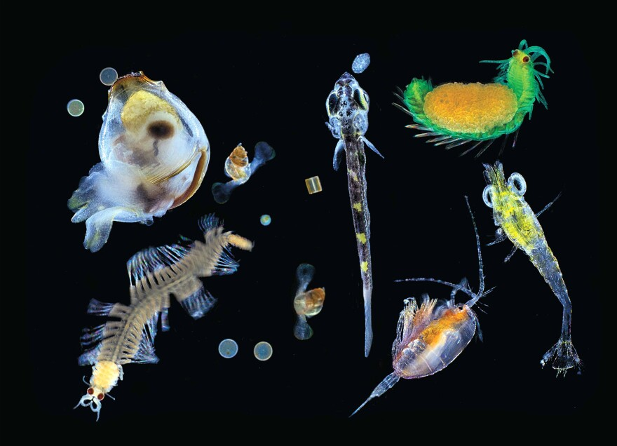 Plankton collected in the Pacific Ocean with a 0.1mm mesh net. Seen here is a mix of multicellular organisms — small zooplanktonic animals, larvae and single protists (diatoms, dinoflagellates, radiolarians) — the nearly invisible universe at the bottom of the marine food chain.