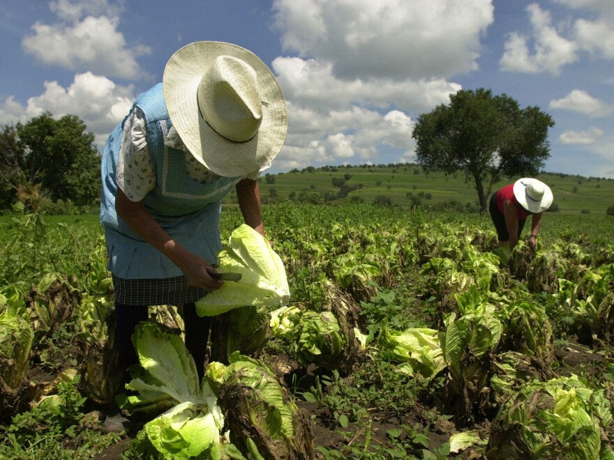 """Farmhands at work in Tlaxcala, Mexico. The FDA said Saturday it would step up its surveillance of """"green leafy products"""" from Mexico, after a rare parasite linked to a lettuce supplier there caused illness in more than 400 people in 16 U.S. states."""