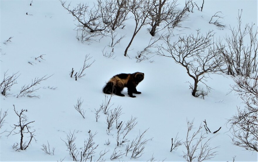 A wolverine in Denali National Park