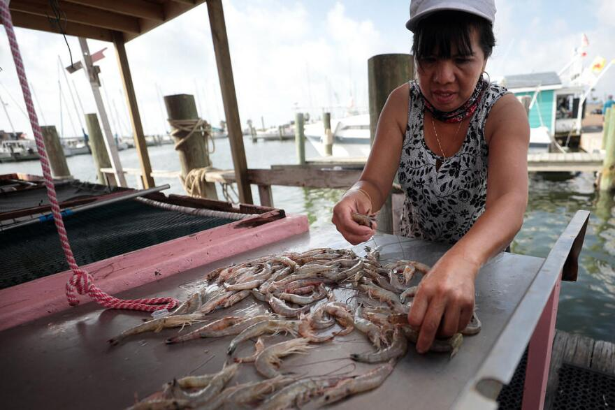 Stephanie Huang separates shrimp by size at her Flemings bait shop in the Rockport Harbor.