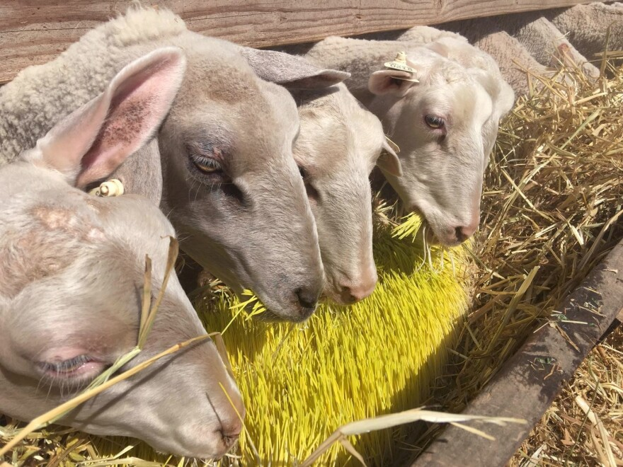 These Central Valley sheep are happily munching on sprouted barley grown indoors. Farmer Mario Daccarett says the barley, grown in shipping containers, is sweet and keeps his sheep full longer.