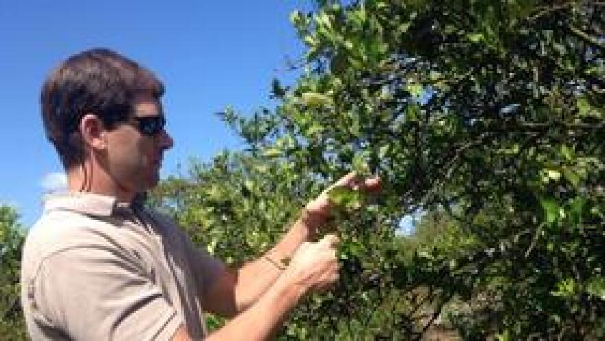 Hendry County orange grower James Paul inspects his failing trees.
