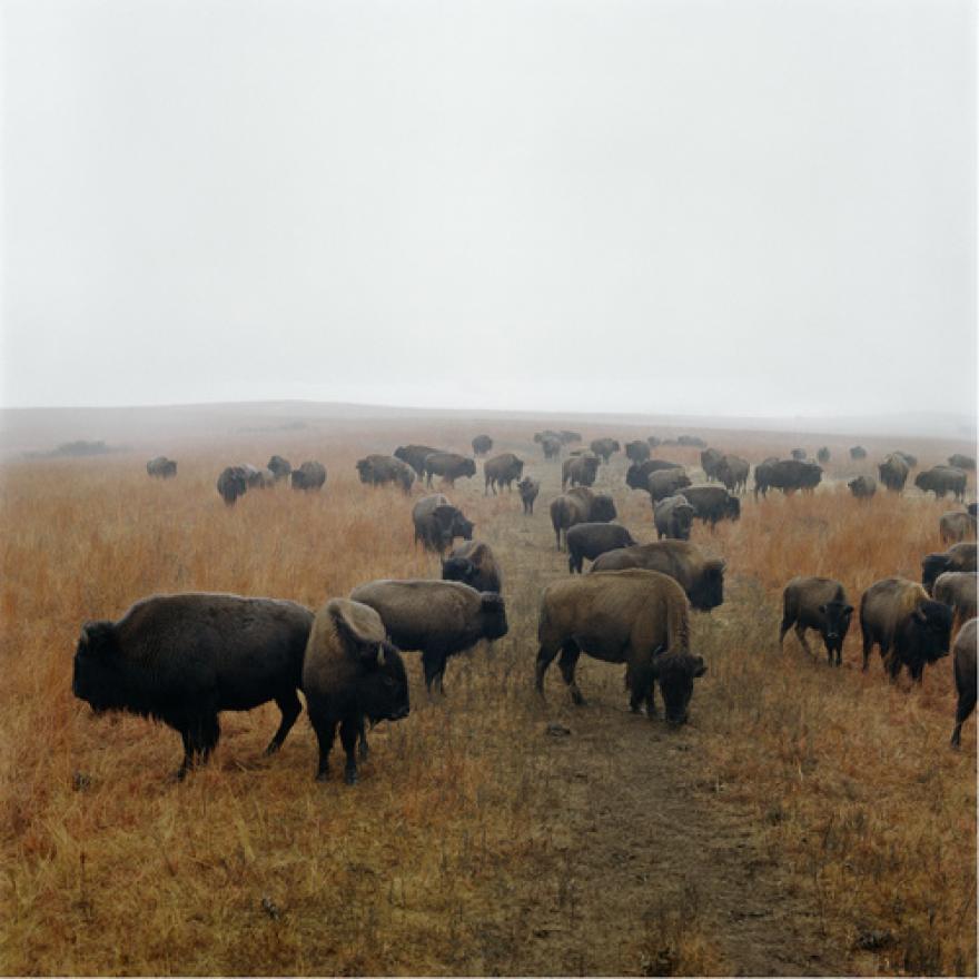 terry_evans_bison_print.png