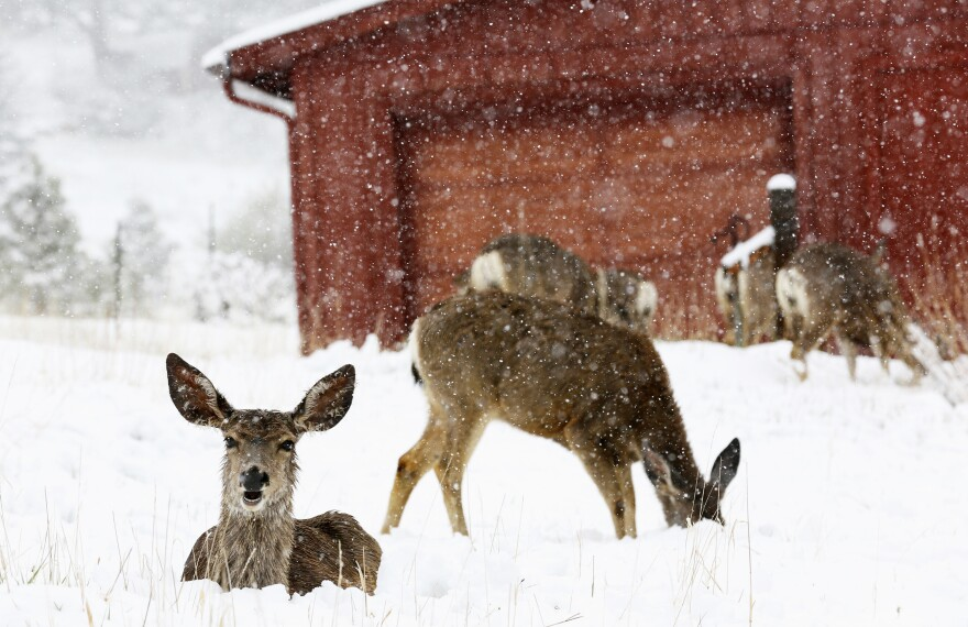 Mule deer are seen in the snow during a late spring snow storm in Golden, Colorado on Mother's Day.