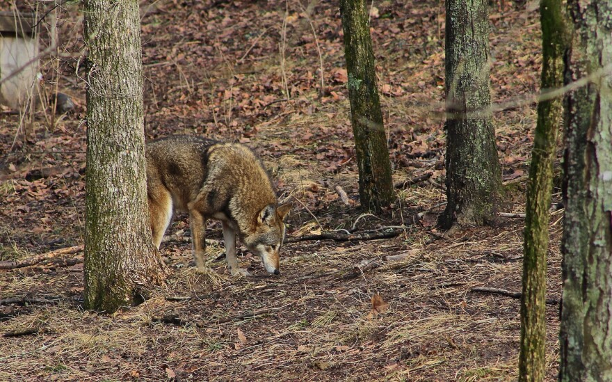 A red wolf at the Endangered Wolf Center. Red wolves once roamed the wilds of southern Missouri.