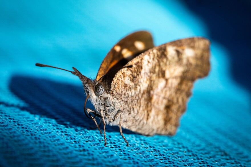 A snout butterfly in Austin in October.