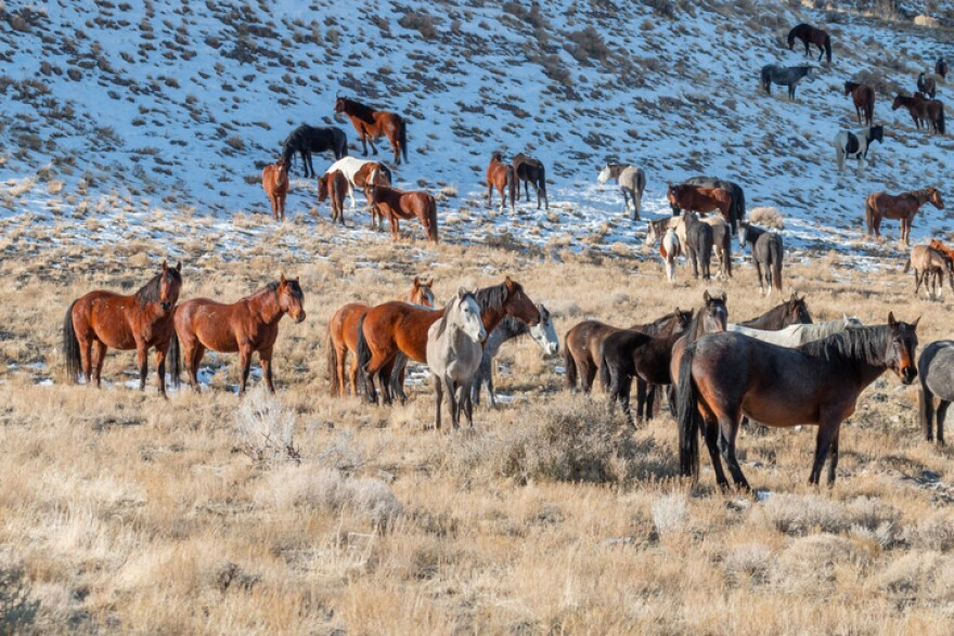 Photo of wild horses in foothills covered in light n