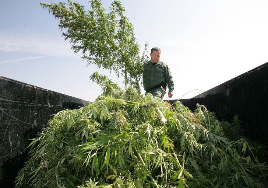 <p>A sheriff officer sifts through marijuana in the back of a trailer which was confiscated from a field last Wednesday in Sanger, Calif.</p>