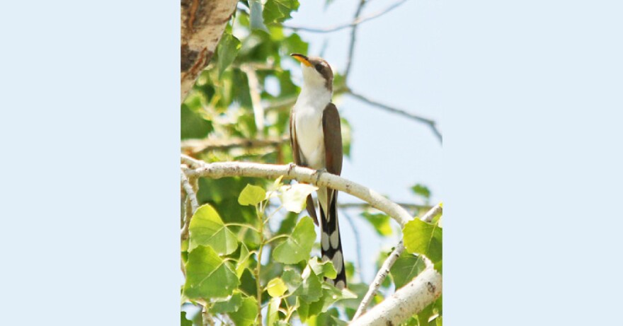 Photo of a Western Yellow-Billed Cuckoo sitting in a tree.