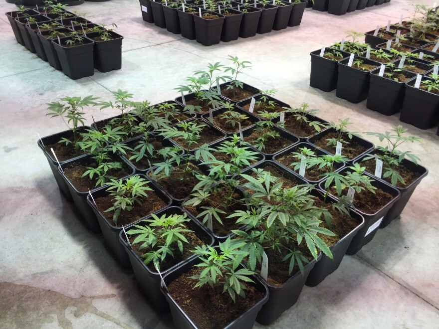 Young plants at a Surterra Therapeutics facility.