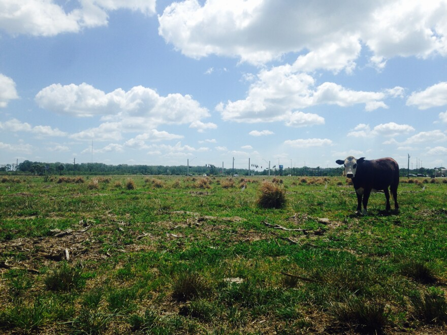 cattle_1.jpg