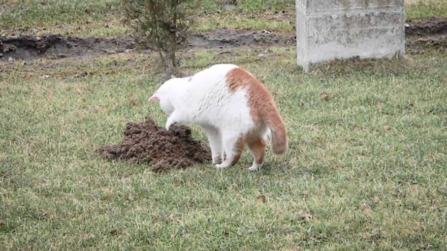 A feral cat hunts on a Metro East Sanitary District levee as part of the district's now abandoned Barn Cat program in partnership with the Metro East Humane Society. Only one of the 12 feral cats placed on the MESD levee was recovered after the program was abandoned.